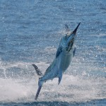 Amazing Marlin Fishing not far offshore from Puerto Jimenez will be one of the best sport fishing experiences of your life.