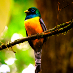 Black-throated Trogon in Corcovado National Park