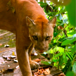 Puma in Corcovado National Park: Cabinas Tropicales