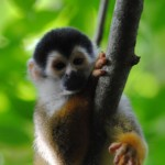 This is a monkey you can see in Corcovado National Park - book a guided tour through us today!