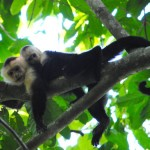 See Monkeys in Corcovado National Park